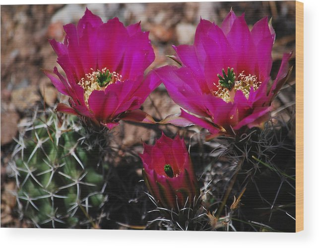 Wood Print featuring the photograph Claret Cups 2 by Judy Pearson