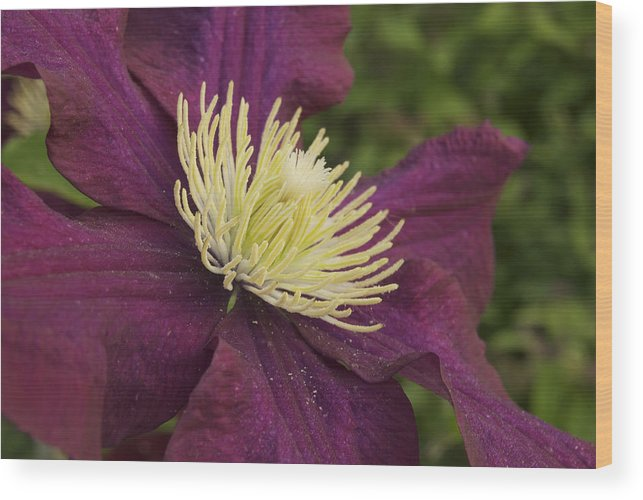 Flower Wood Print featuring the photograph Clematis 4000 by Michael Peychich