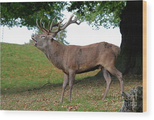 Doug Thwaites Wood Print featuring the photograph Come On Deer by Doug Thwaites