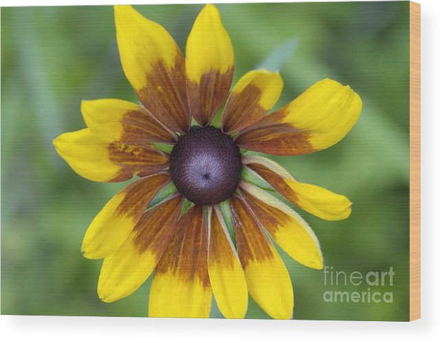 New England Wood Print featuring the photograph Coneflower - New England Wild Flower by Erin Paul Donovan