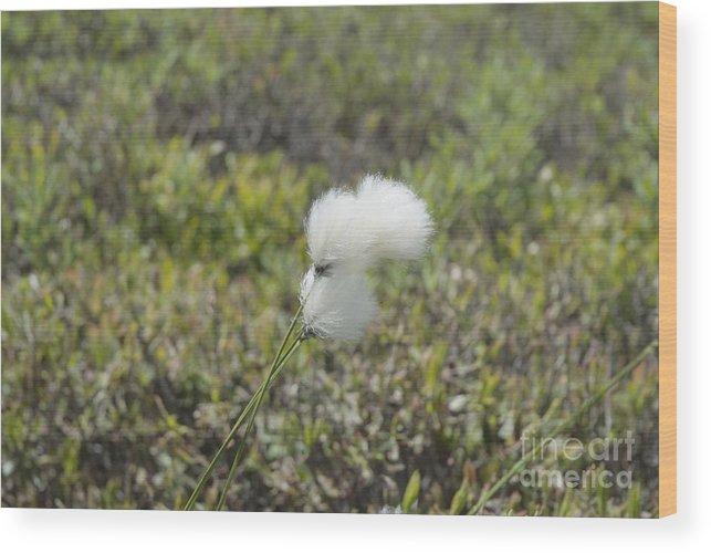 New England Wood Print featuring the photograph Cotton Grass -eriophorum Virginicum- by Erin Paul Donovan