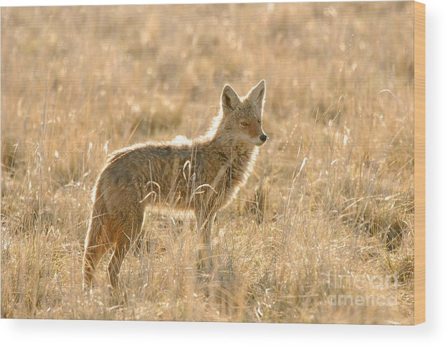 Coyote Wood Print featuring the photograph Coyote At Dawn by Dennis Hammer