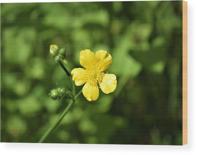 Flowers Wood Print featuring the photograph Dancing Daisy by Cassandra Dice
