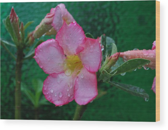 Rose Wood Print featuring the photograph Desert Rose On Green by John Roncinske