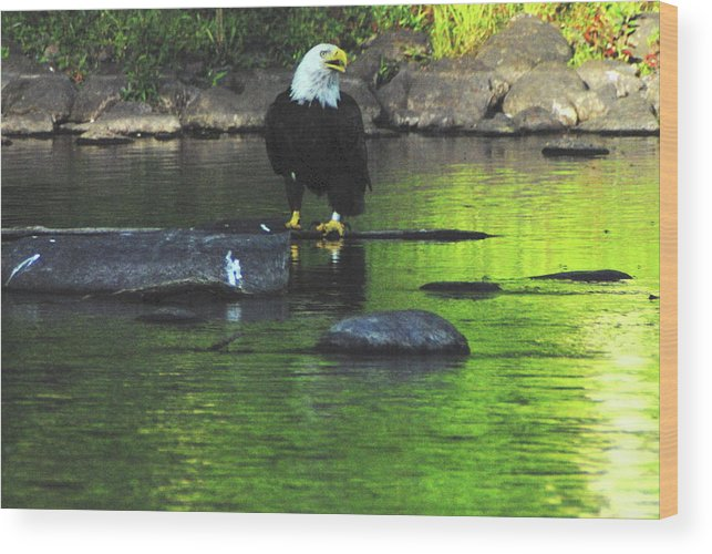 Eagle Wood Print featuring the photograph Eagle On River Rock IIi by Alice Markham