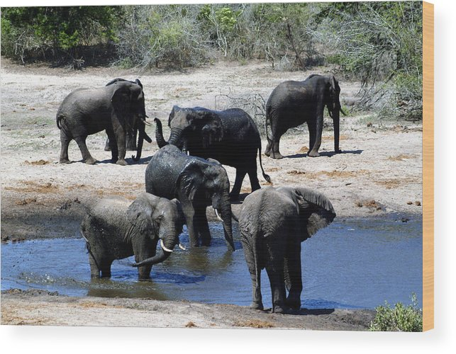 Elephants Wood Print featuring the photograph Elephant Pool by Charles Ridgway