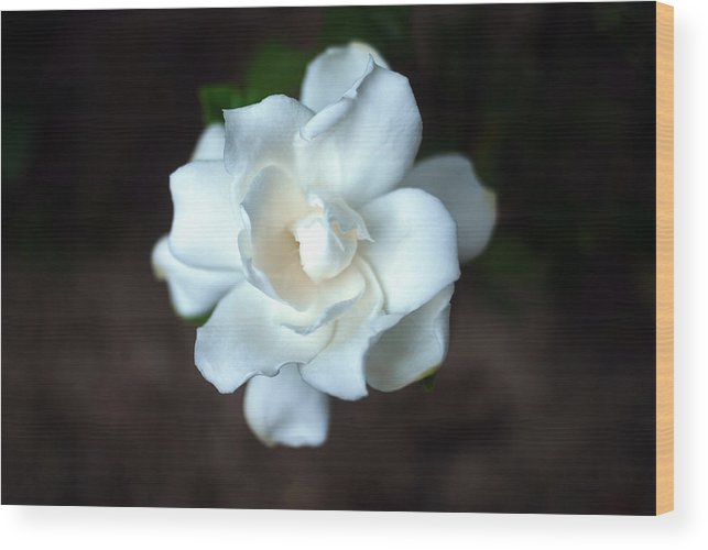 Gardenia Wood Print featuring the photograph Flowering Gardenia by Erik Berglund