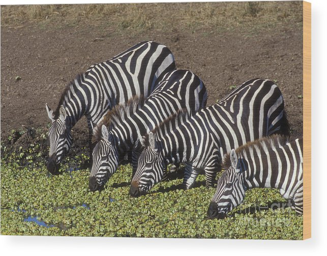 Zebra Wood Print featuring the photograph Four For Lunch - Zebras by Sandra Bronstein