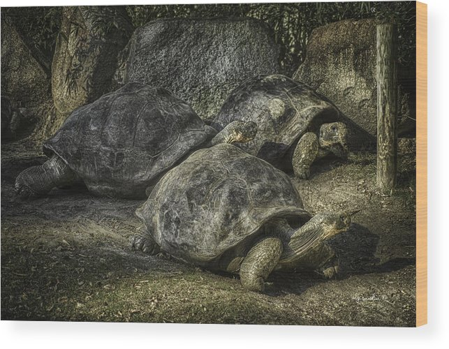 Michael G Rankin Wood Print featuring the photograph Galapagos Tortoise_hdr by Michael Rankin