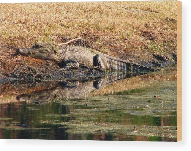 Gator Wood Print featuring the photograph Gator 5 by J M Farris Photography