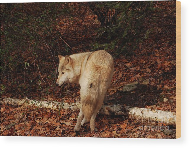 Wolf Wood Print featuring the photograph Get Back It's My Stick by Lori Tambakis