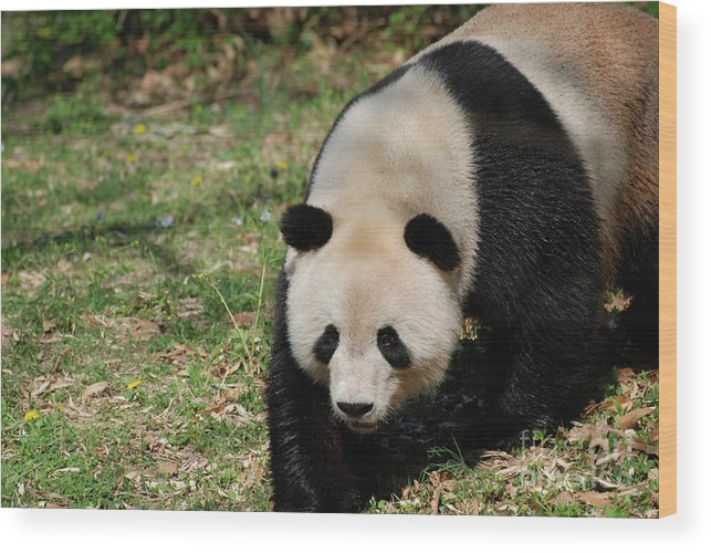 Panda Wood Print featuring the photograph Gorgeous Black And White Giant Panda Bear Walking by DejaVu Designs