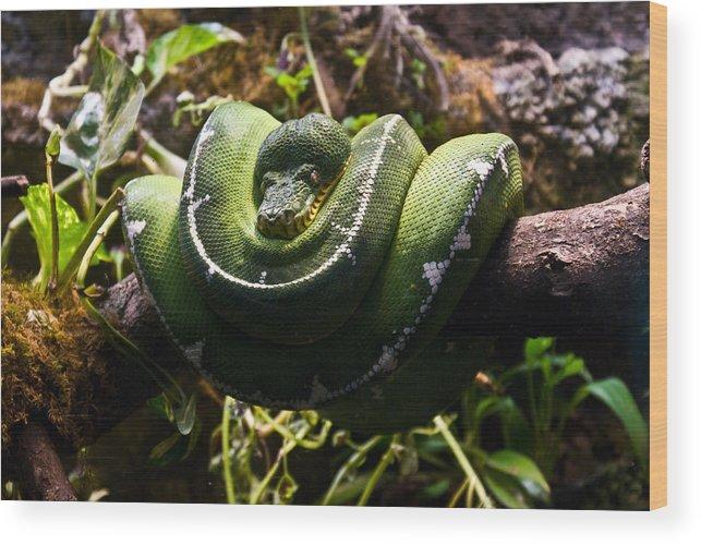 Green Wood Print featuring the photograph Green Boa by Douglas Barnett