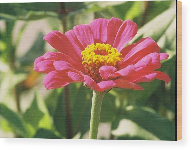 Landscape Wood Print featuring the photograph Hot Pink Flower In Frankemuth Michigan by Cheryl Martin