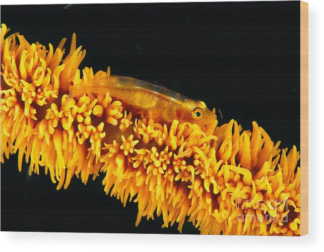 Amplus Wood Print featuring the photograph Indonesia, Goby by Dave Fleetham - Printscapes