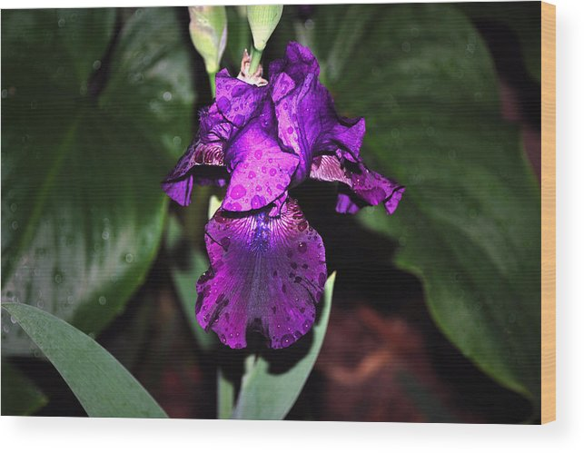 Floral Wood Print featuring the photograph Iris by M Ryan