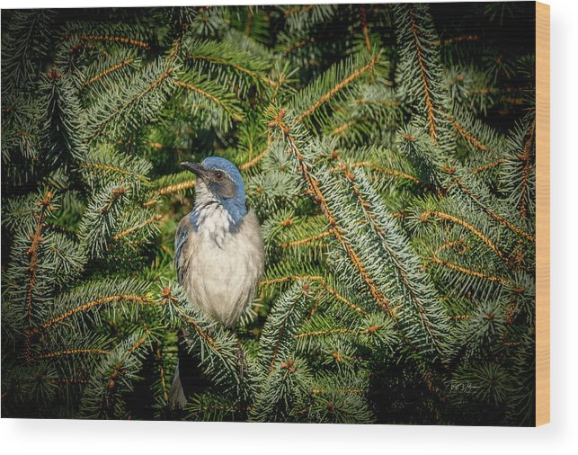 Scrub Jay Wood Print featuring the photograph Jay In Tree by Bill Posner