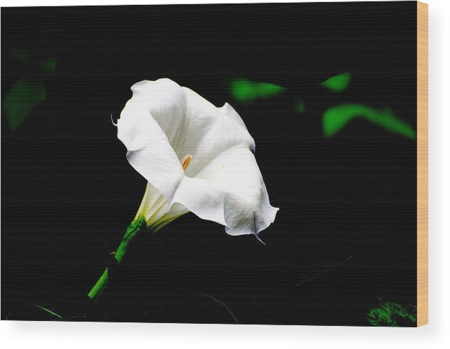 Floral Wood Print featuring the photograph Judy's White Knight by M Ryan