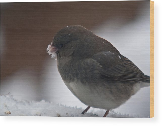 Junco Wood Print featuring the photograph Junco In Snow by Douglas Barnett