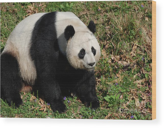 Panda Wood Print featuring the photograph Large Black And White Giant Panda Bear Sitting by DejaVu Designs