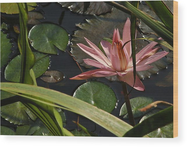 Louisiana Water Lilly Wood Print featuring the photograph Louisiana Waterlilly by Ronald Olivier