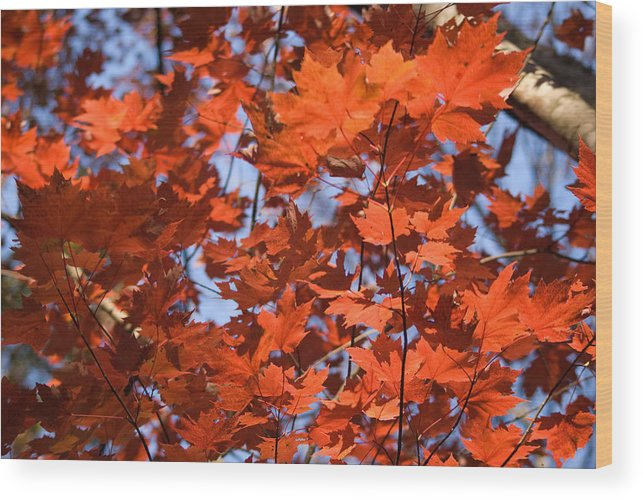 Maple Wood Print featuring the photograph Maple Leaves Aglow by Douglas Barnett