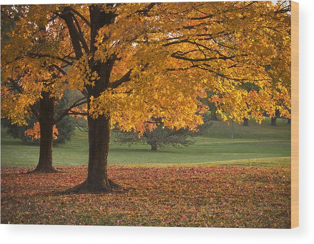 Maple Trees Wood Print featuring the photograph Maples Trees In Fall by Chad Davis