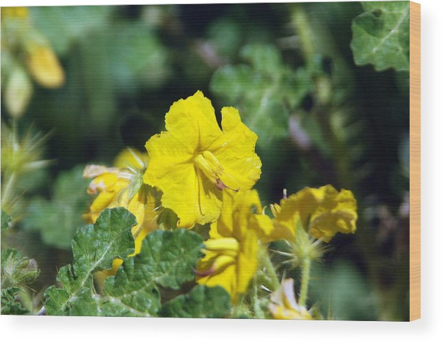 Flower Wood Print featuring the photograph Nasty Weed by Margaret Fortunato