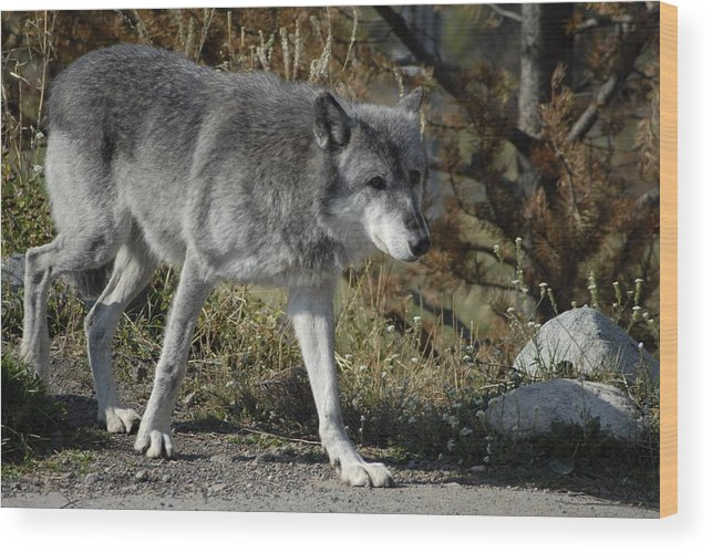 Dog Wood Print featuring the photograph Out For A Walk by Curtis Gibson