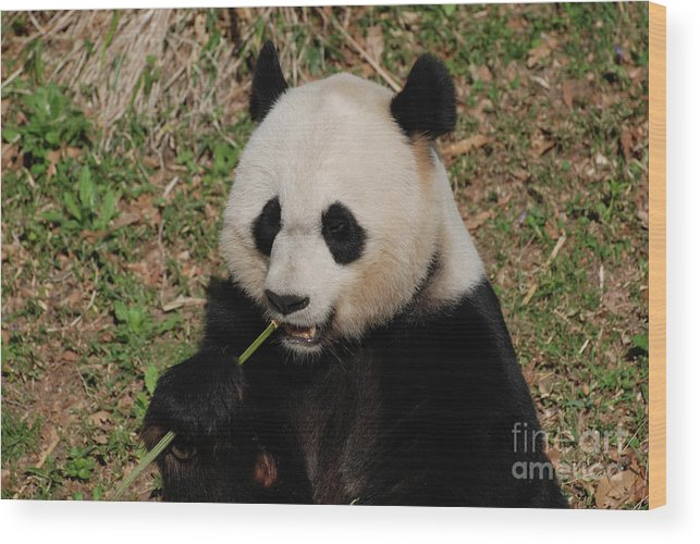 Panda Wood Print featuring the photograph Panda Bear Holding On To Bamboo While Eating by DejaVu Designs