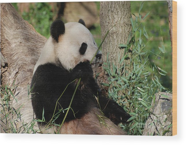 Panda Wood Print featuring the photograph Panda Bear Smelling His Bamboo Before Eating It by DejaVu Designs