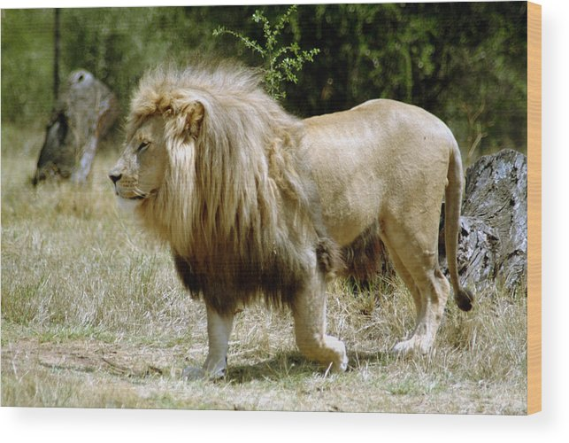 Lion Wood Print featuring the photograph Papa Lion On The Prowl by Charles Ridgway
