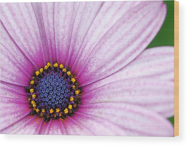 Flower Wood Print featuring the photograph Pink And Blue by Fraser Davidson