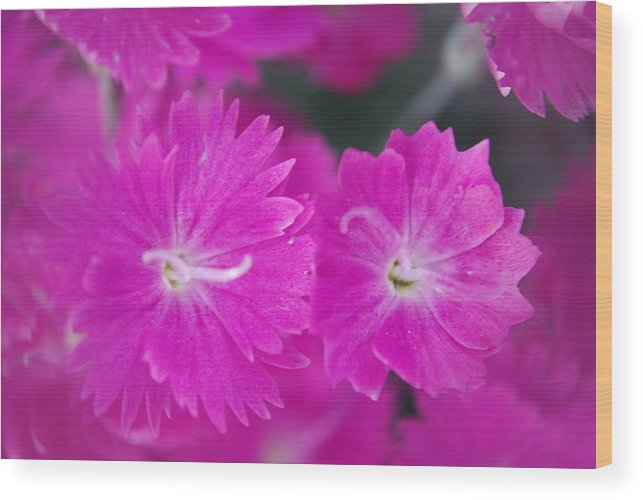 Flowers Wood Print featuring the photograph Pink Flower Closeup by Lisa Gabrius