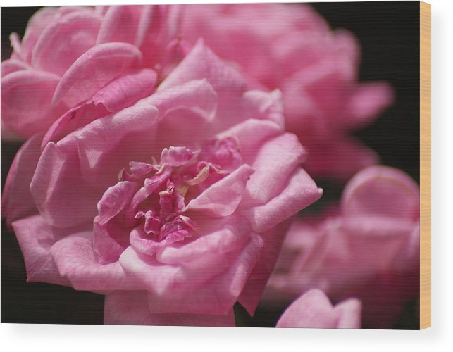 Roses Wood Print featuring the photograph Pink Roses by Heather Green