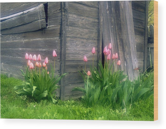 Garden Wood Print featuring the photograph Pink Tulips And Weathered Shed by Roger Soule