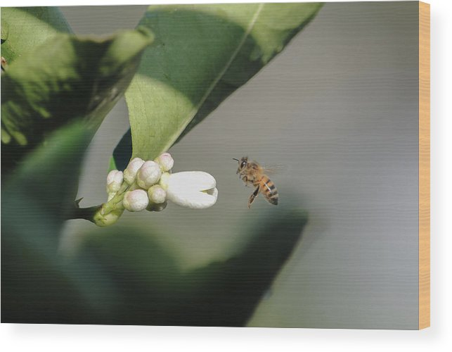 Pollination Wood Print featuring the photograph Pollination by Megan Martens
