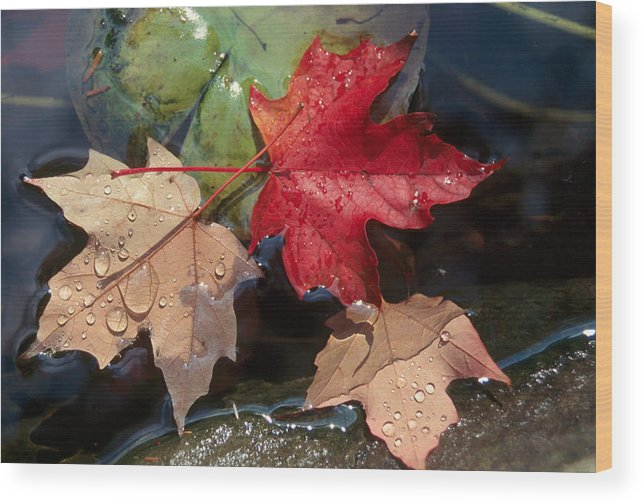 Fall Wood Print featuring the photograph Rain Drops On Leaves by Raju Alagawadi