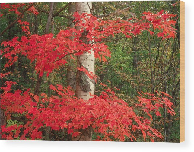 Fall Wood Print featuring the photograph Red Maple by Raju Alagawadi
