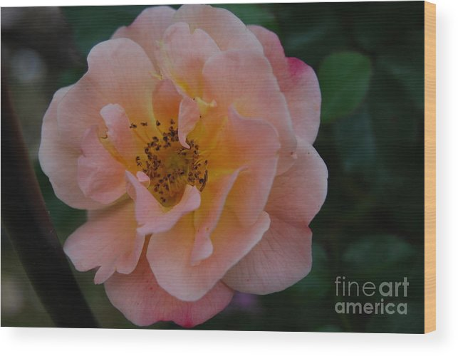 Posters Framed Prints Wood Print featuring the photograph Roses by Sharen Duffing