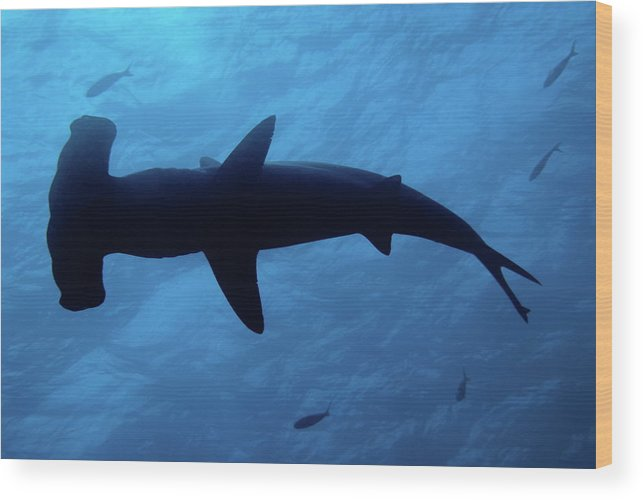 Horizontal Wood Print featuring the photograph Scalloped Hammerhead Shark Underwater View by Sami Sarkis
