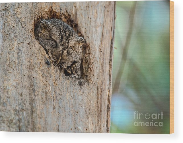 Cheryl Baxter Photography Wood Print featuring the photograph Screech Owl In A Tree by Cheryl Baxter