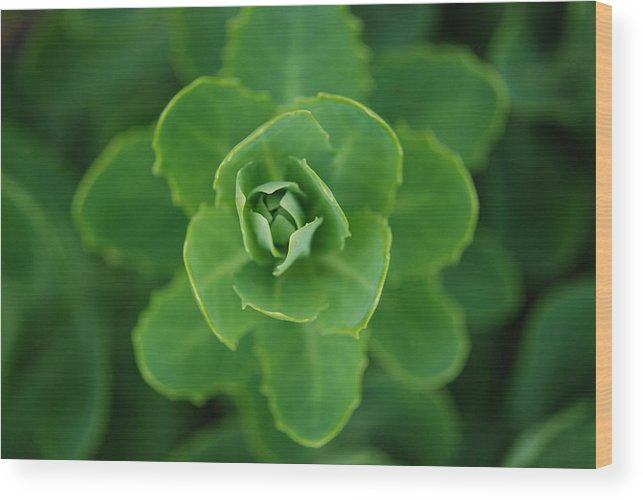 Landscape Wood Print featuring the photograph Sedum by Lisa Gabrius