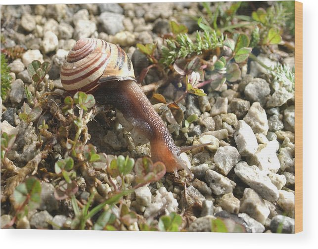 Snail Wood Print featuring the photograph Snail On Rocks by Steve Somerville