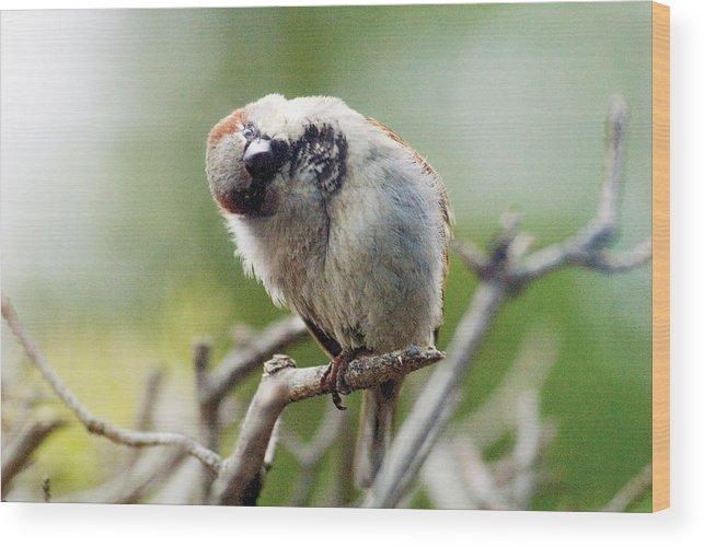 Bird Wood Print featuring the photograph Sparrow Tilts It Head by Steve Somerville