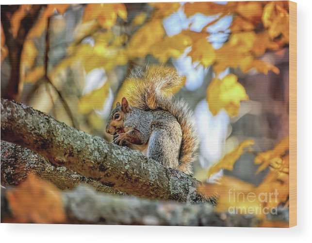 Squirrel Wood Print featuring the photograph Squirrel In Autumn by Kerri Farley of New River Nature