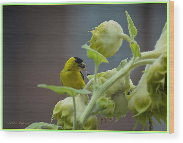 Gold Finch Wood Print featuring the photograph Sunflower Seed Tasting by Sonali Gangane