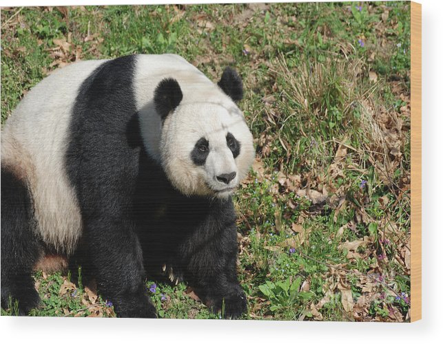 Panda Wood Print featuring the photograph Sweet Chinese Panda Bear Sitting Down In Grass by DejaVu Designs