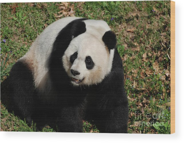 Panda Wood Print featuring the photograph Sweet Faced Chinese Giant Panda Bear Sitting Down by DejaVu Designs