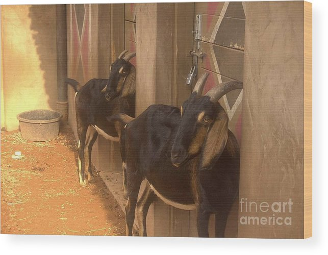 Goats Wood Print featuring the photograph Synchronized Goat Standing Team Usa by Joyce Goldin